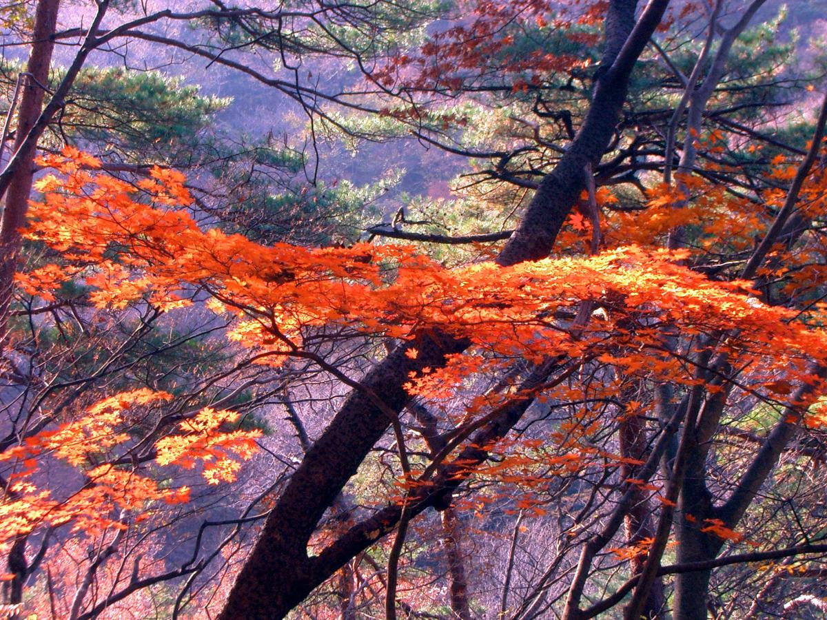 Autumn leaves in Japan near Tokyo in November 2005.